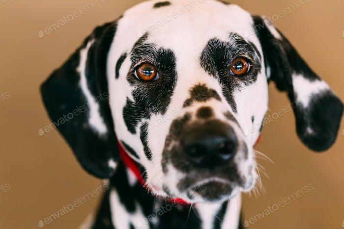 Nahaufnahme des Gesichts eines dalmatinischen Hundes