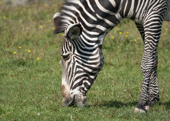 African Beautiful Zebra Eating Fresh Green Grass.