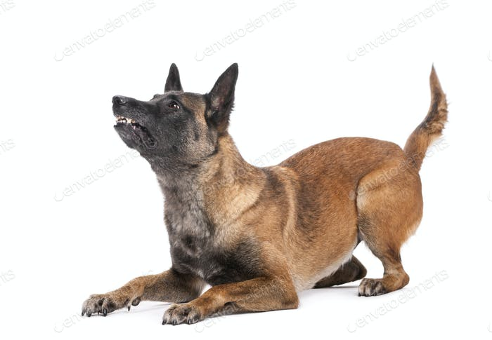 Belgian Shepherd lying in attack posture, looking up against white background