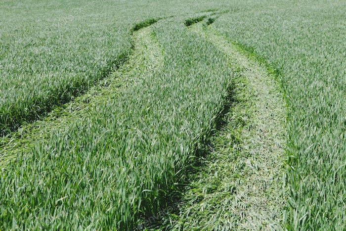 Tire tracks in lush, green field of wheat, near Pullman, flattening the growing crop.