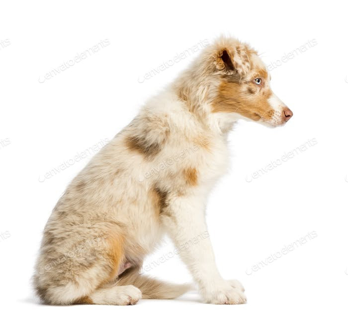 Side view of an Australian Shepherd puppy, 3.5 months old, sitting