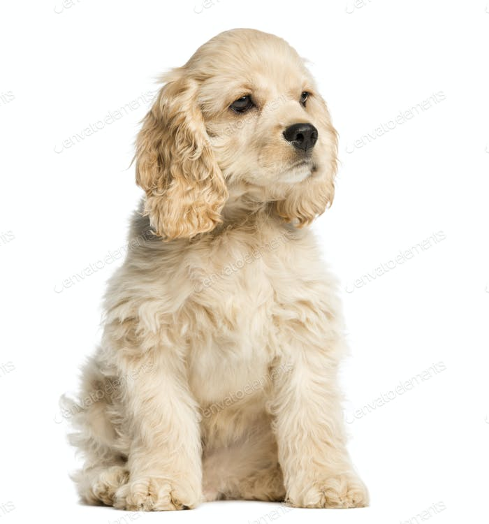 American cocker spaniel puppy sitting and staring, 4 months old, isolated on white