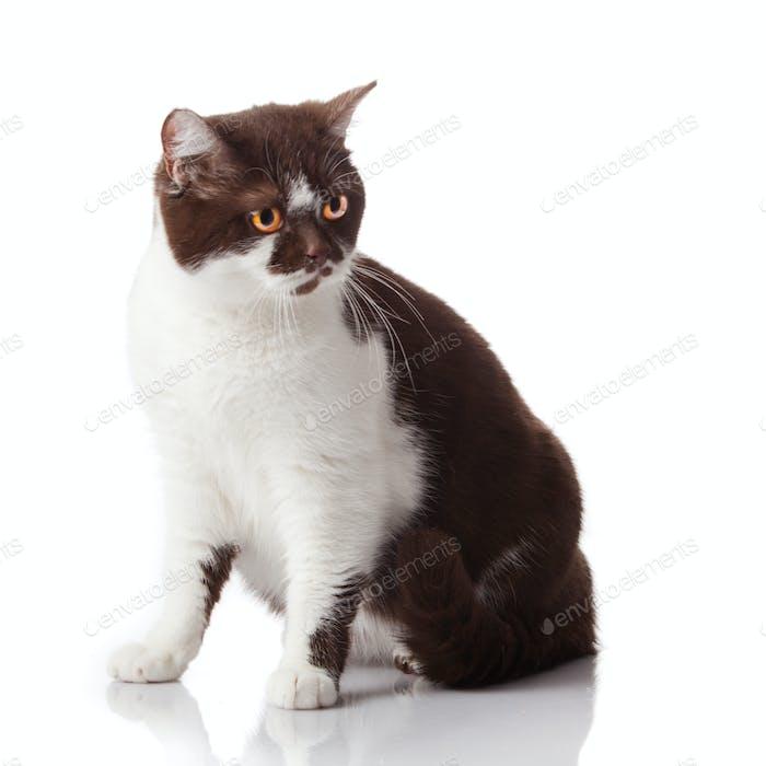 schöne britische Katze auf weiß