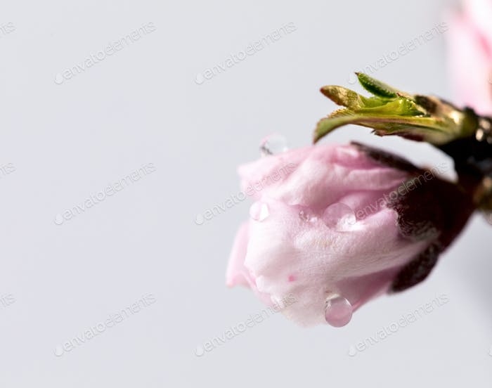 Flowering peach branch, pink flowers. Concept of the symbol of spring