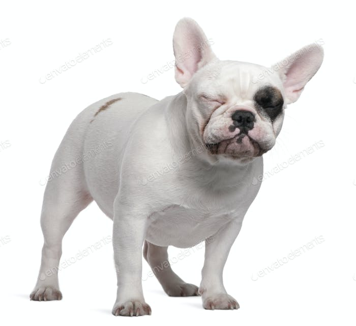 French bulldog, 12 months old, standing in front of white background