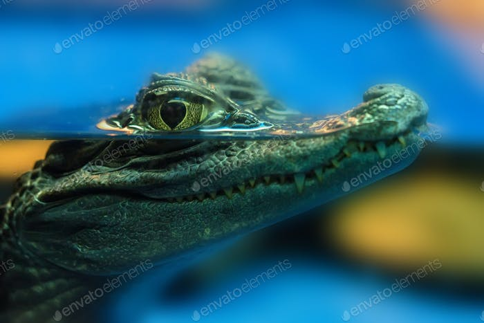 Young spectacled caiman or Caiman crocodilus