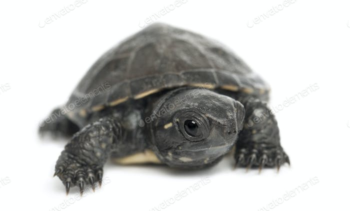 European pond turtle, also called the European pond terrapin, Emys orbicularis, 6 months