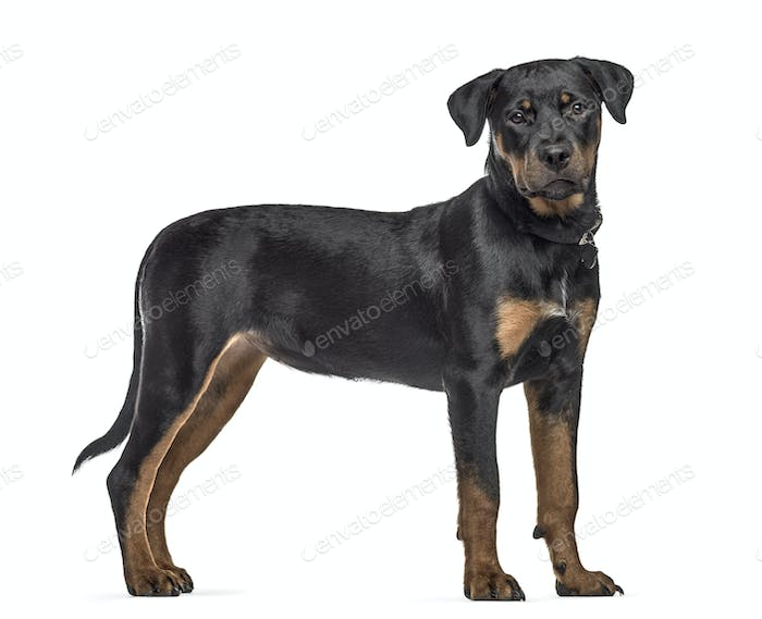 Side view of a rottweiler dog, standing, isolated on white