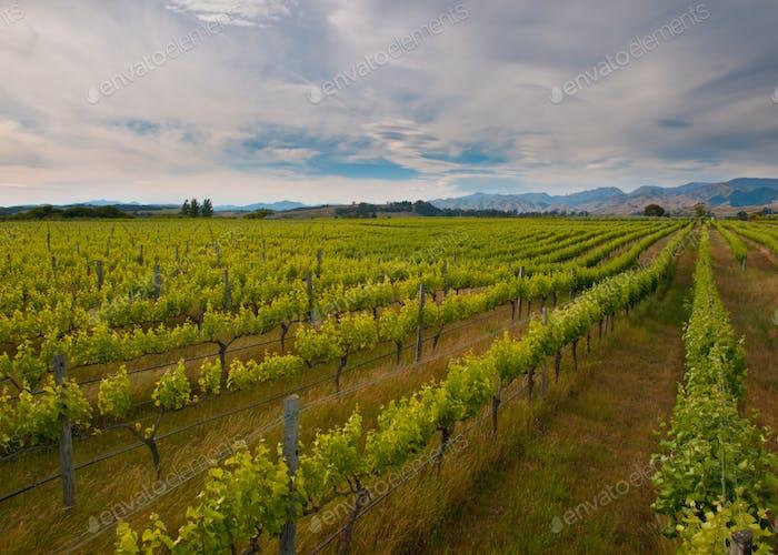 new zealand vineyard overview