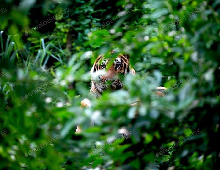 bengal tiger lying  down among green bush