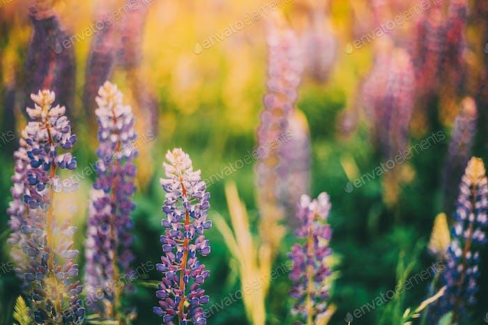 Busch von Wilden Blumen Lupine Im Sommer Feld Wiese. Lupinus