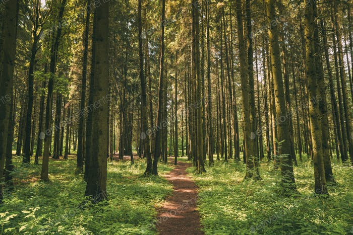 Path, Lane, Walkway, Way For Walking In Summer Mixed Forest Betw