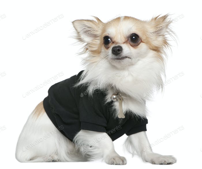 Chihuahua dressed in black, 1 year old, sitting in front of white background