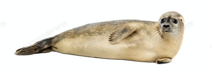 Side view of a Common seal lying on the side, Phoca vitulina, 8 months old, isolated on white