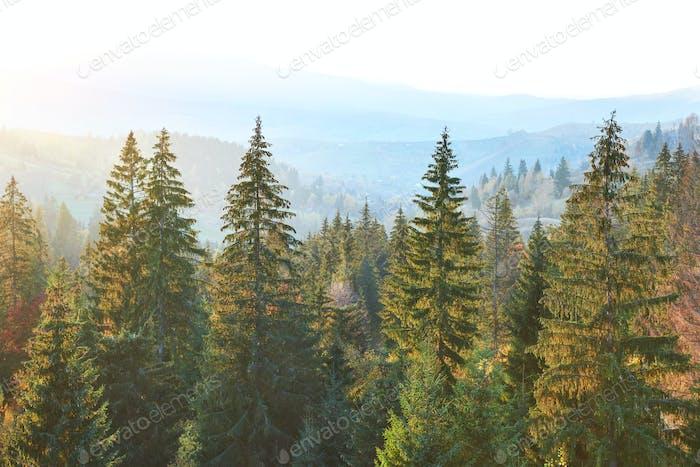 Majestätischer Kiefernwald im Herbsttal. Dramatisch malerische Morgenszene. Warme Tonung