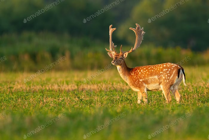 Male fallow deer stag with anglers in velvet on stubble field looking away