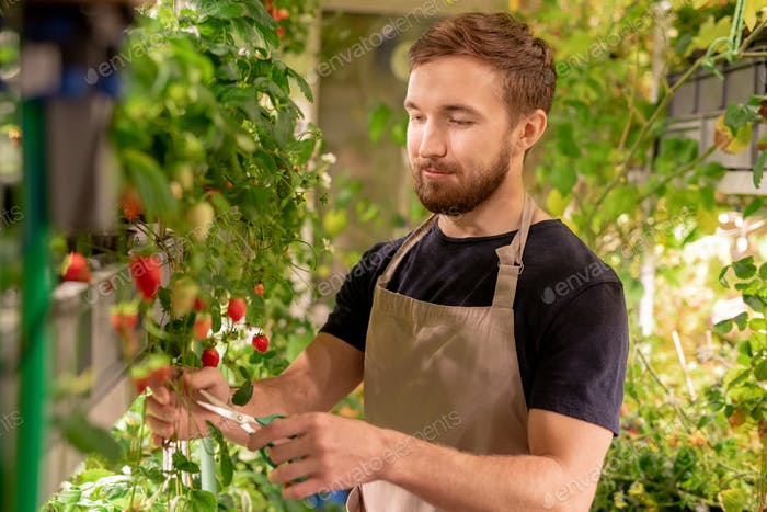 Bearded worker of hothouse cutting long twigs