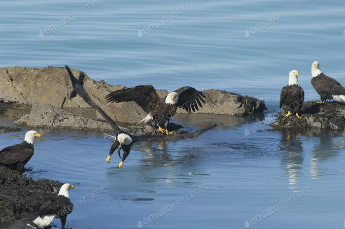 A group of bald eagles, Haliaeetus leucocephalus, perched on rocks by water.