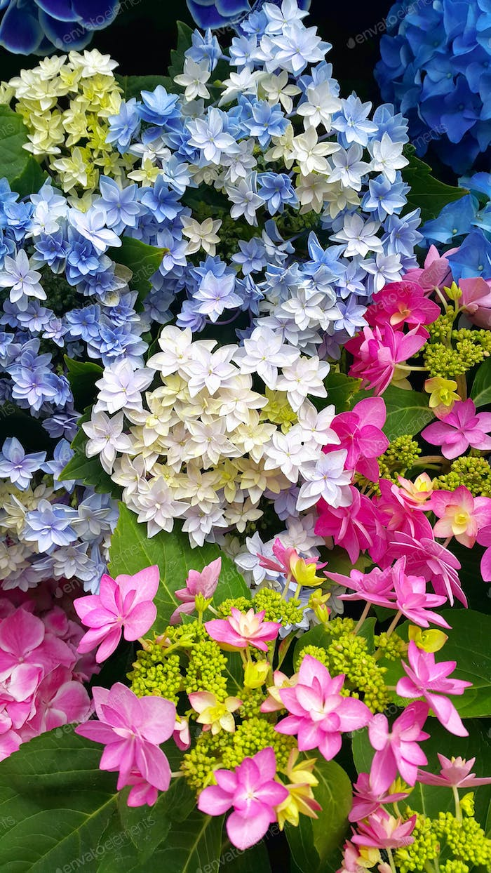 Beautiful bright colorful flowers of Hydrangea