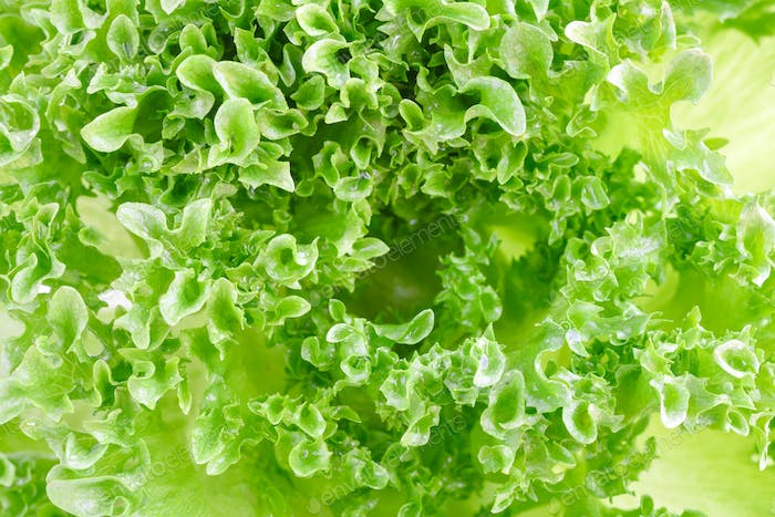 Closeup of green lettuce leaves, fragment. Abstract background.