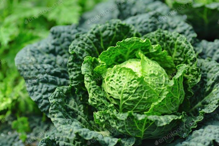vegetable in field