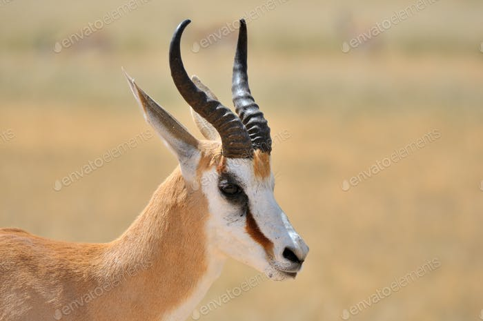 Springbok in the Etosha National Park 1