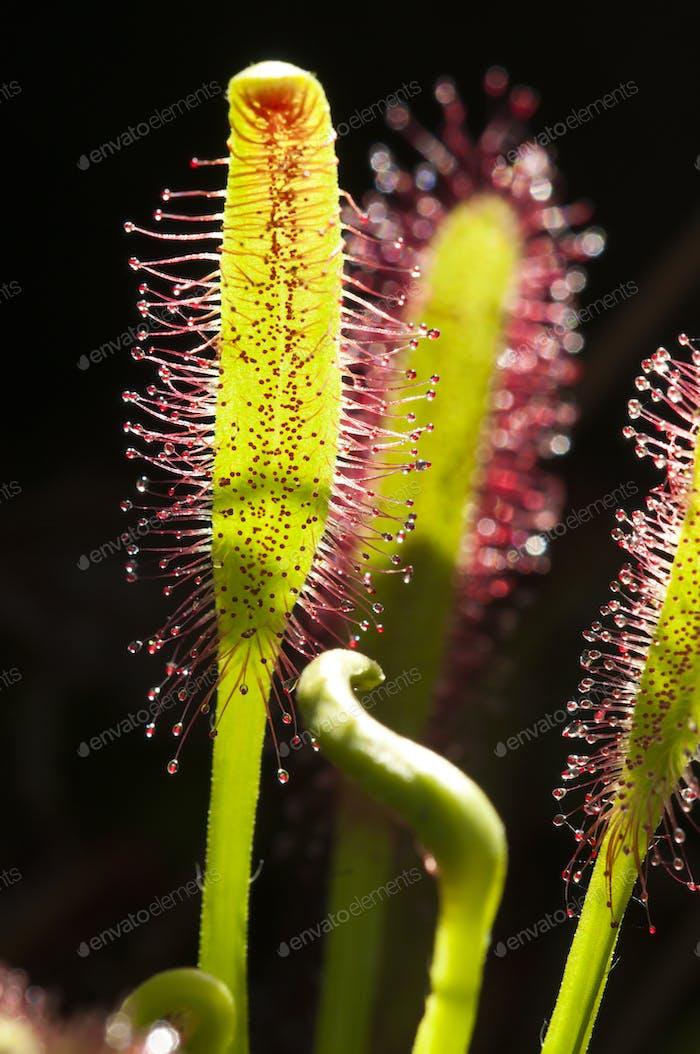 Cape Sundew Carnivorous Plant