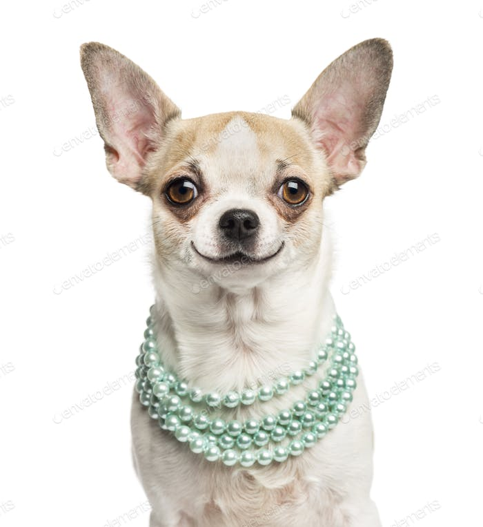 Close-up of a smiling Chihuahua (2 years old) wearing a pearl necklace, isolated on white