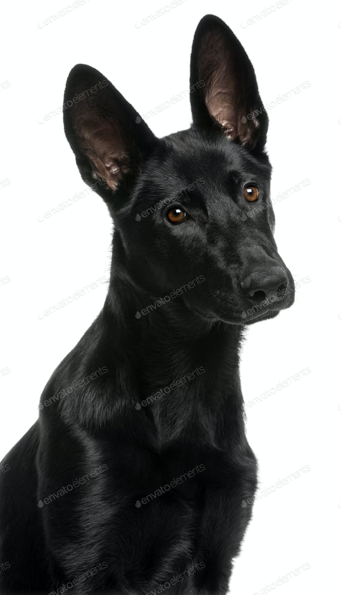 Close-up of German Shepherd puppy, 5 months old, in front of white background