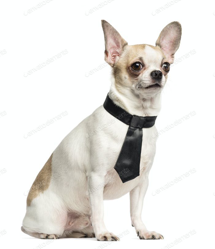 Chihuahua (2 years old) sitting and wearing a tie, isolated on white