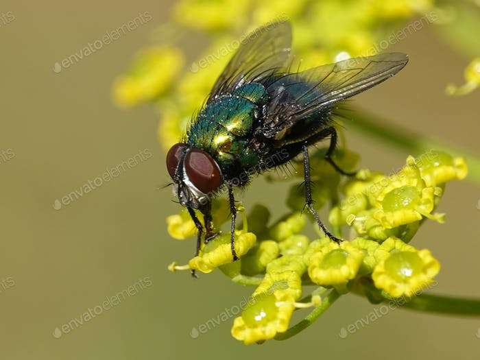Calliphoridae fly