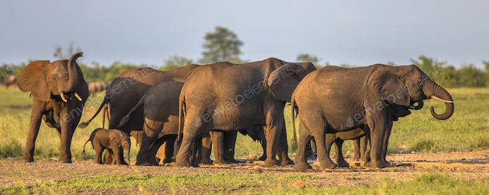 African Elephants group