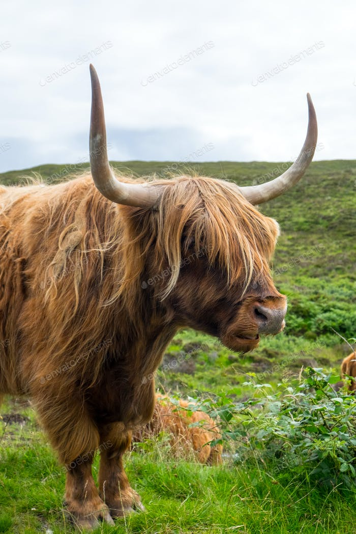 Galloway cattle in Scotland