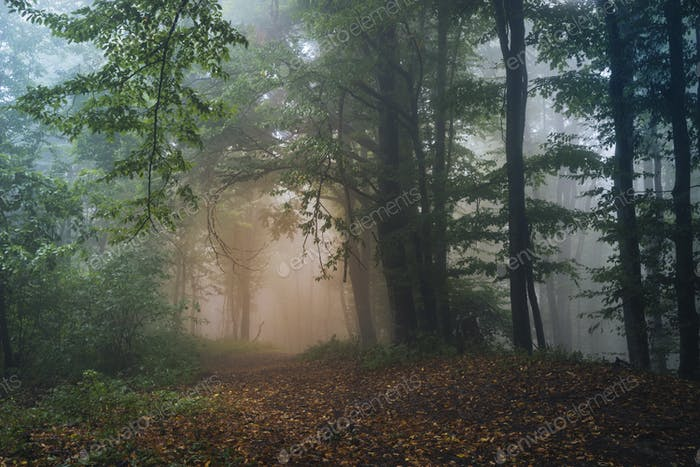 Mysterious Transylvanian forest with fog