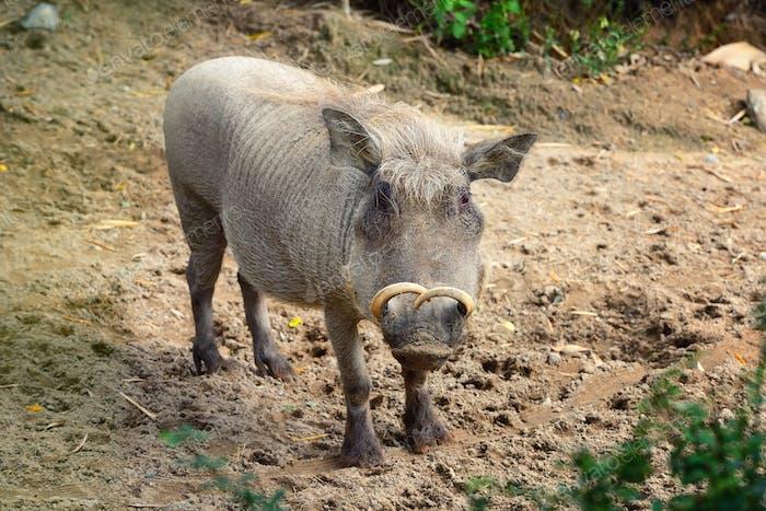 Common warthog (Phacochoerus africanus). Front view