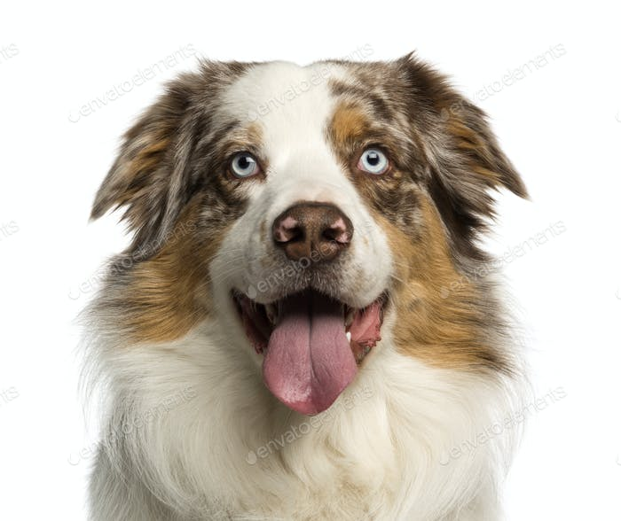 Close-up of a Australian Shepherd, 2 years old, panting, isolated on white