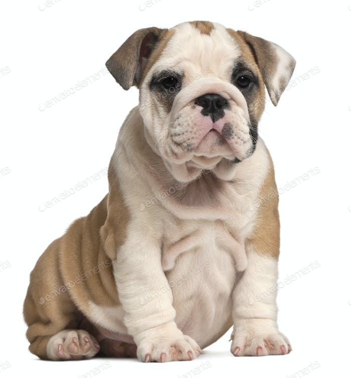 English Bulldog puppy Sitting, 2 months old