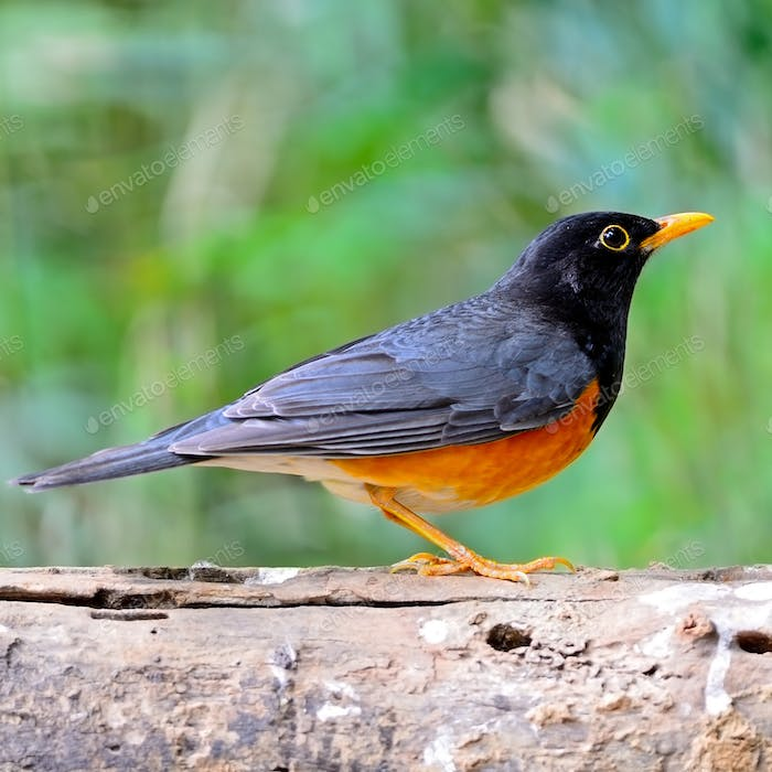 male Black-breast Thrush