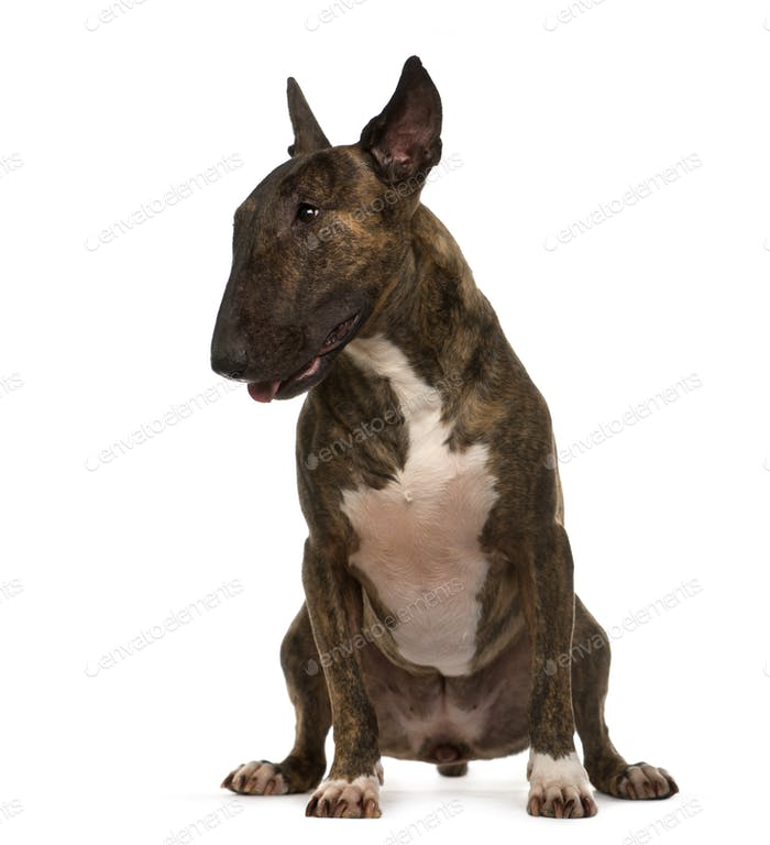 Sitting Bull Terrier Dog, cut out
