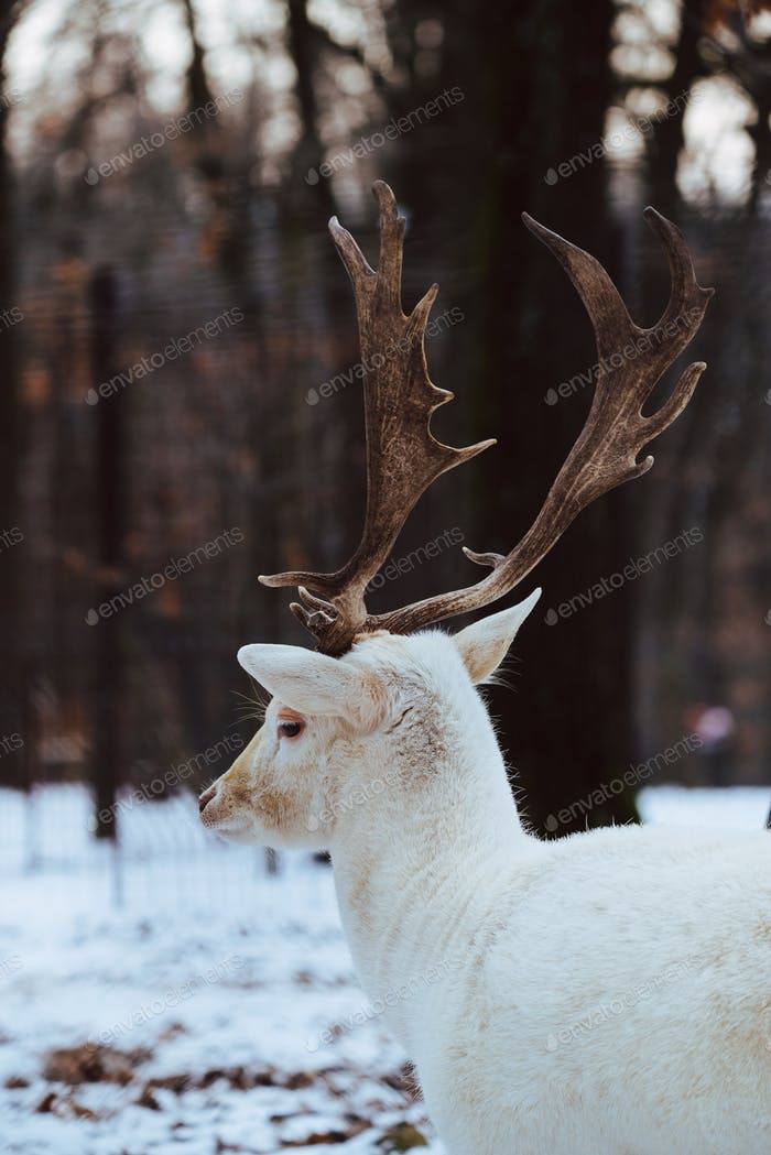 Thumbnail for Albino white Fallow Deer Buck Dama Dama in the winter forest