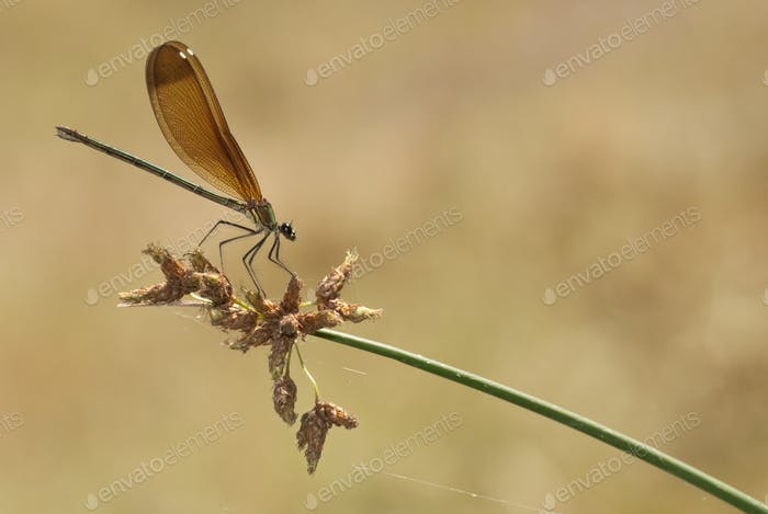 Damselfly on Spike