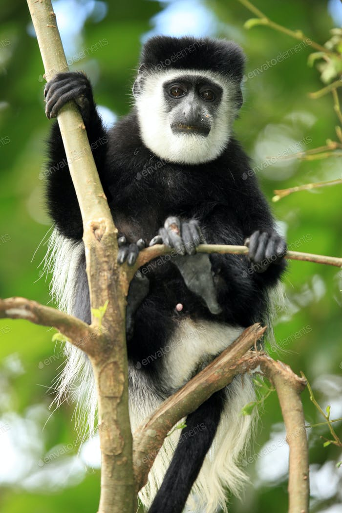 Black and White Colobus - Uganda, Africa