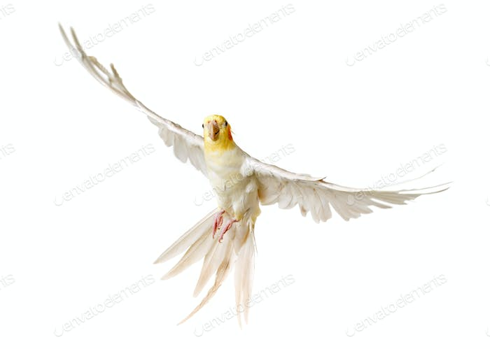 flying gray cockatiel