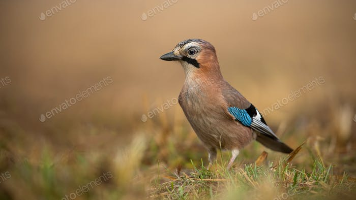 Eurasian Jay on the ground on a sunny winter day with blurred background