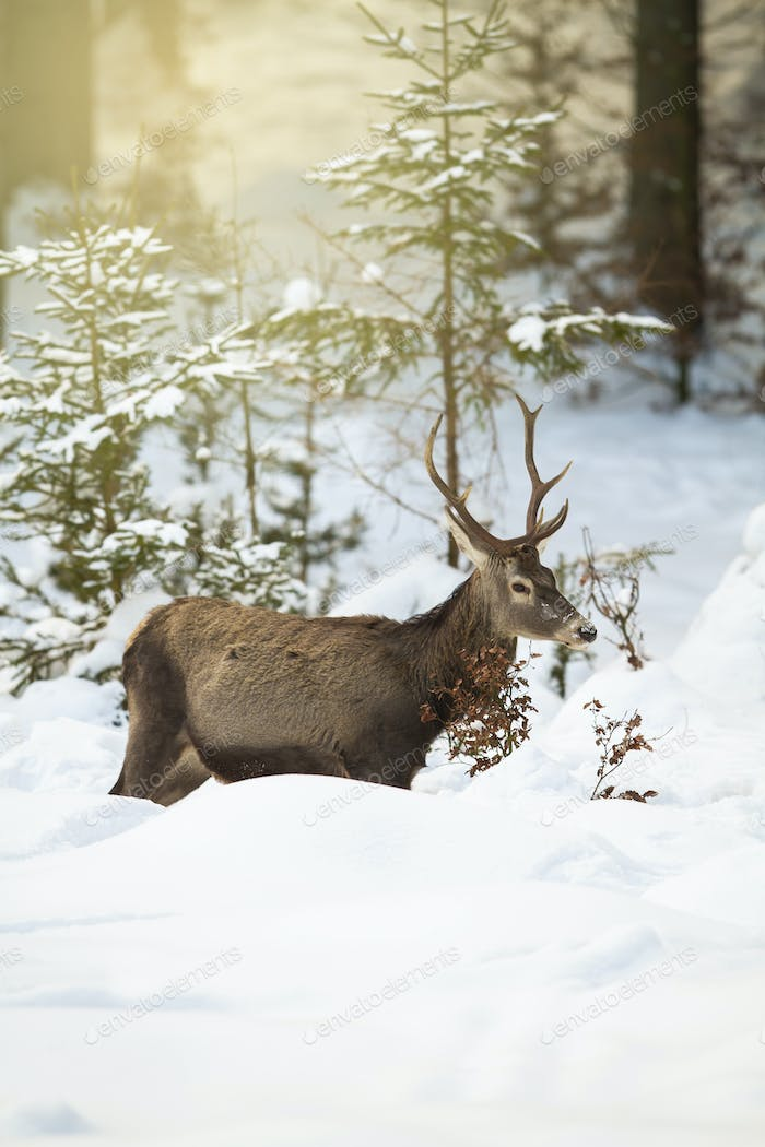 Red deer stag struggling in deep snow in winter forest with sun rays