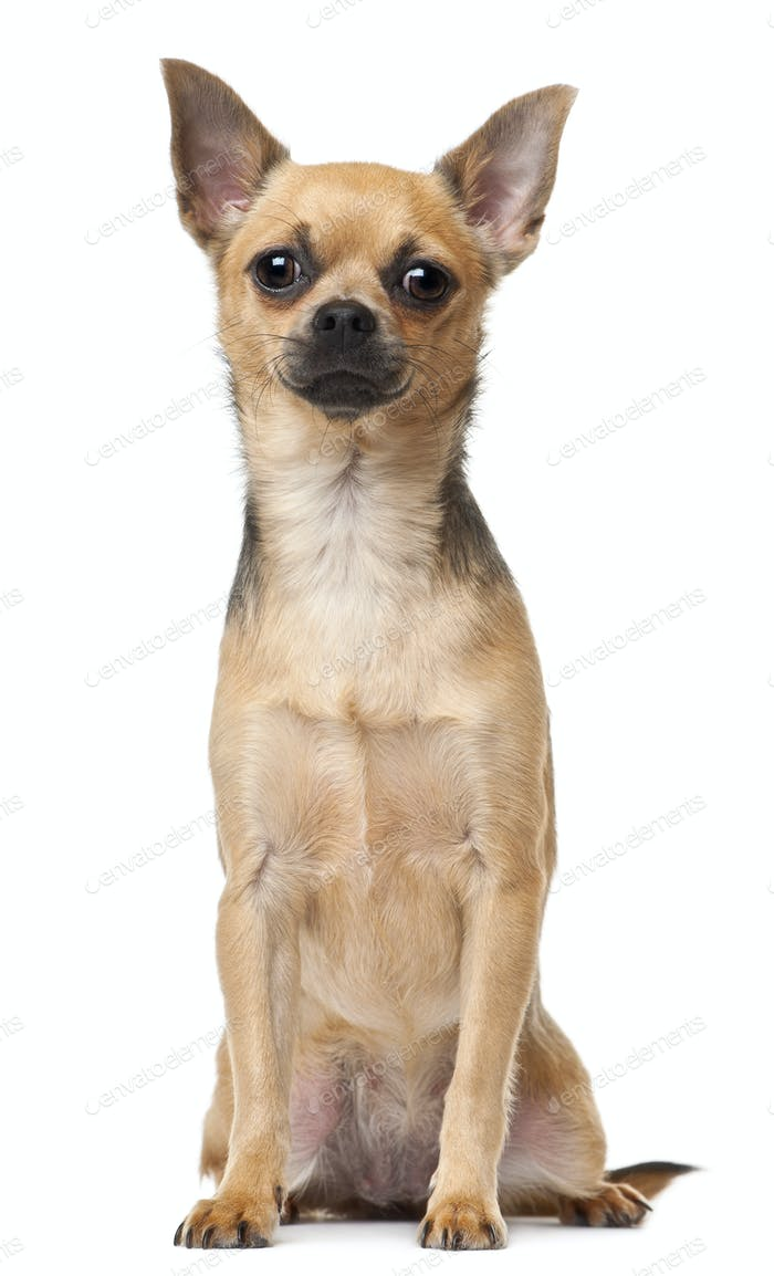 Chihuahua, 12 months old, sitting in front of white background