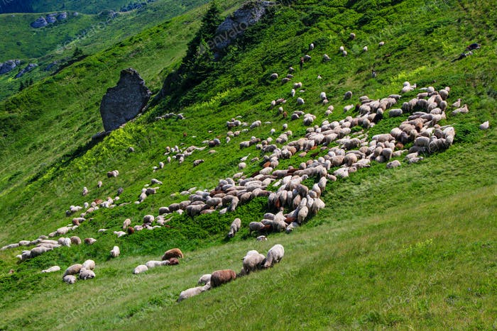 Sheep Flock On Mountain In Summer