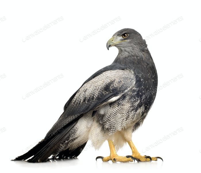 Black-chested Buzzard-eagle - Geranoaetus melanoleucus