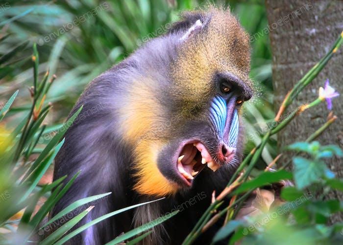 Mandrill Baring Its Teeth