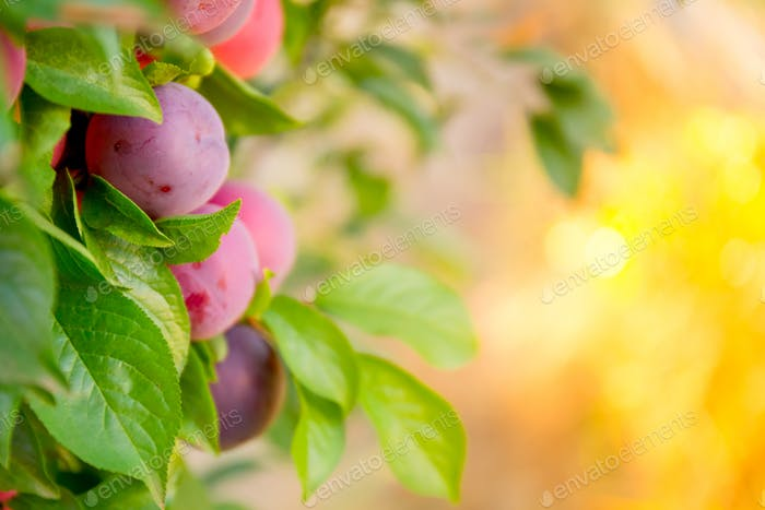 Plums garden in sunny day. Background with bokeh.